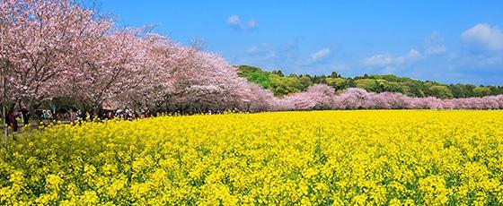 ピンクと黄色のコントラストが美しい!桜と菜の花を一度に見られる春の絶景5選