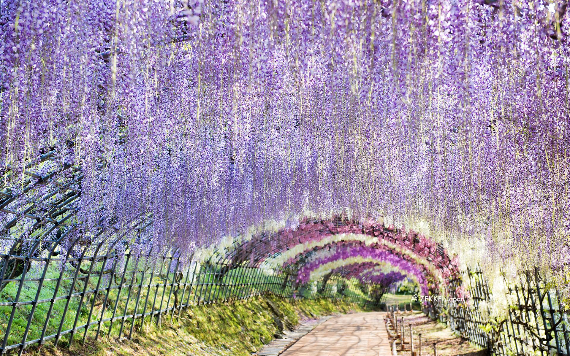 <絶景壁紙>幻想的な藤の壁紙をあなたの待ち受けに ZEKKEI Japan