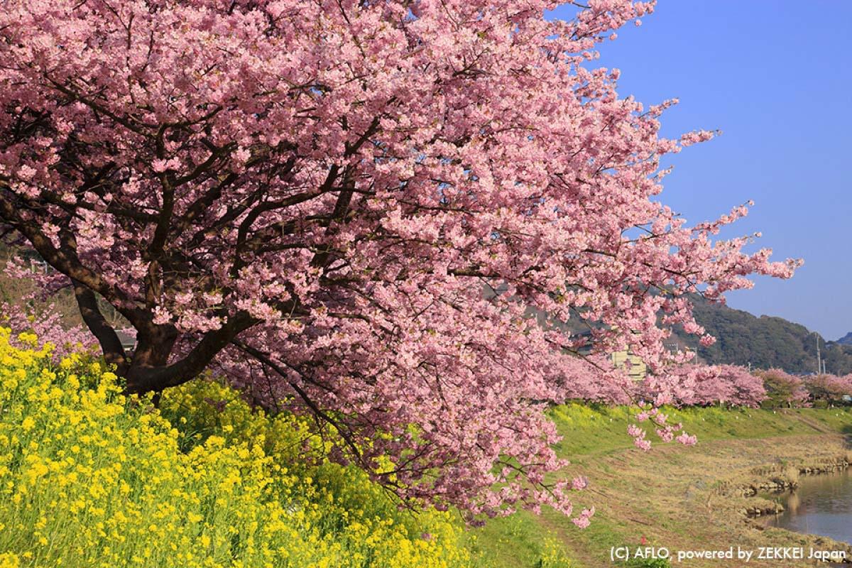樱 旅游 日本