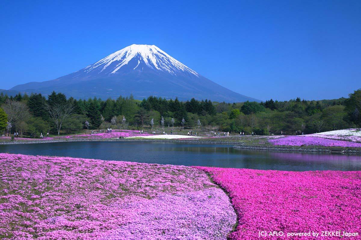 Shiba-sakura Cherry blossom Japan