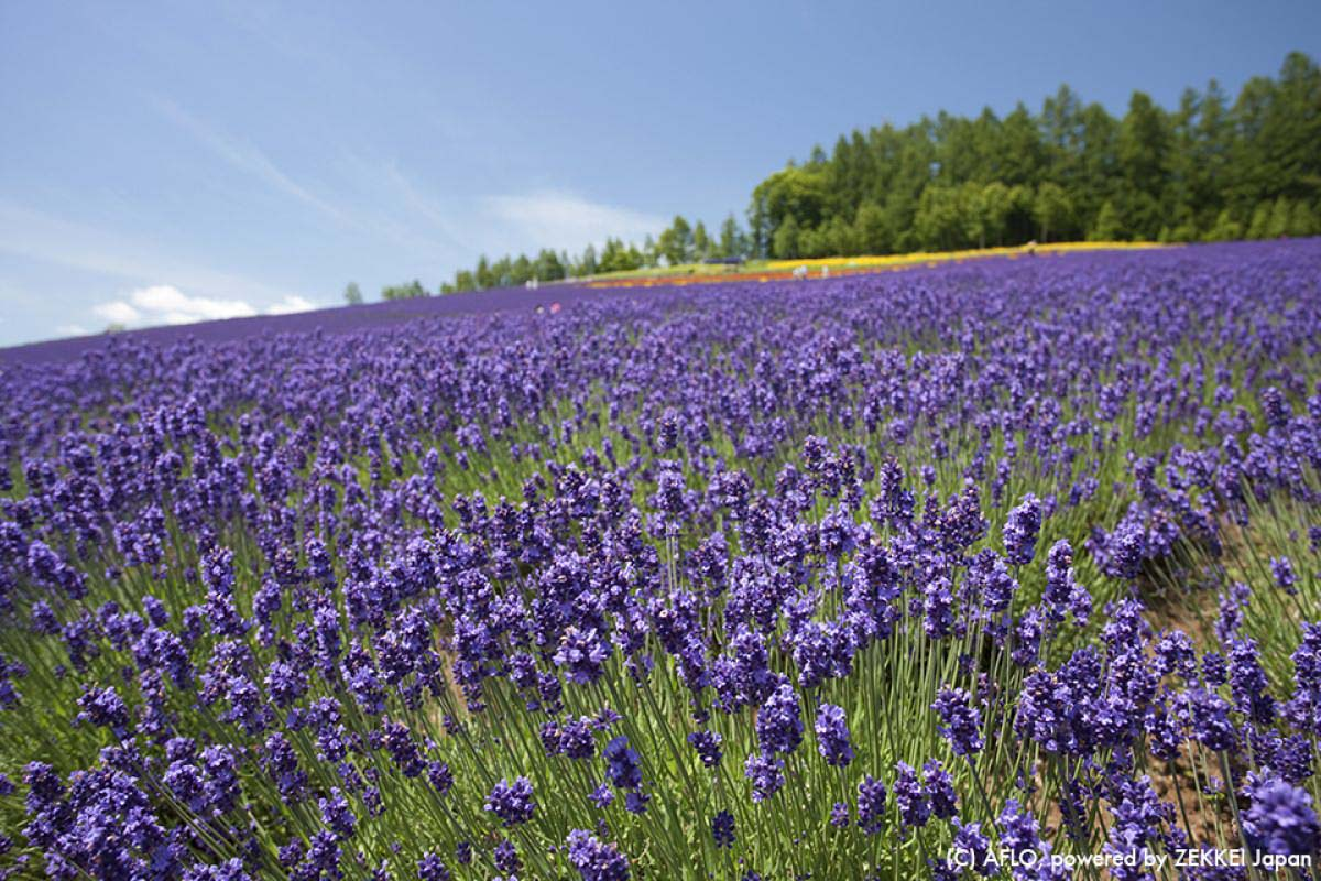 Furano Hokkaido Flower Fields