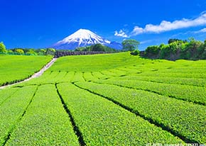 Tea plantation and My.Fuji, Shizuoka