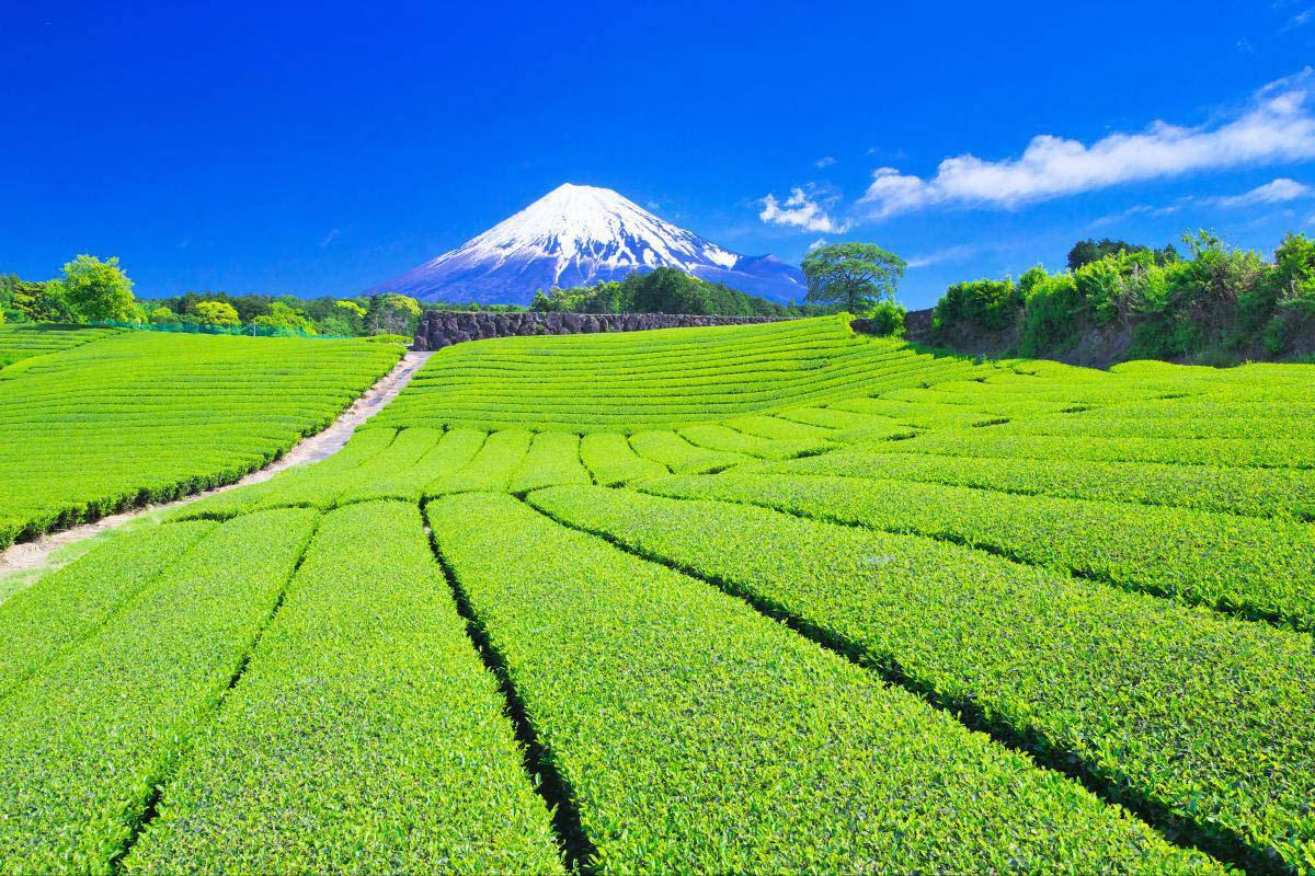 Tea plantation and My.Fuji