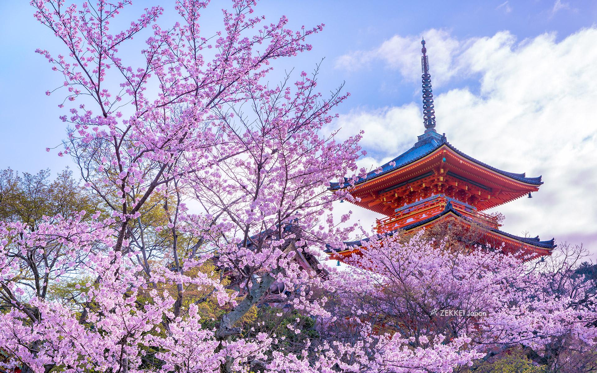 あなたのパソコン スマホに絶景を 桜のzekkei壁紙をプレゼント Zekkei Japan
