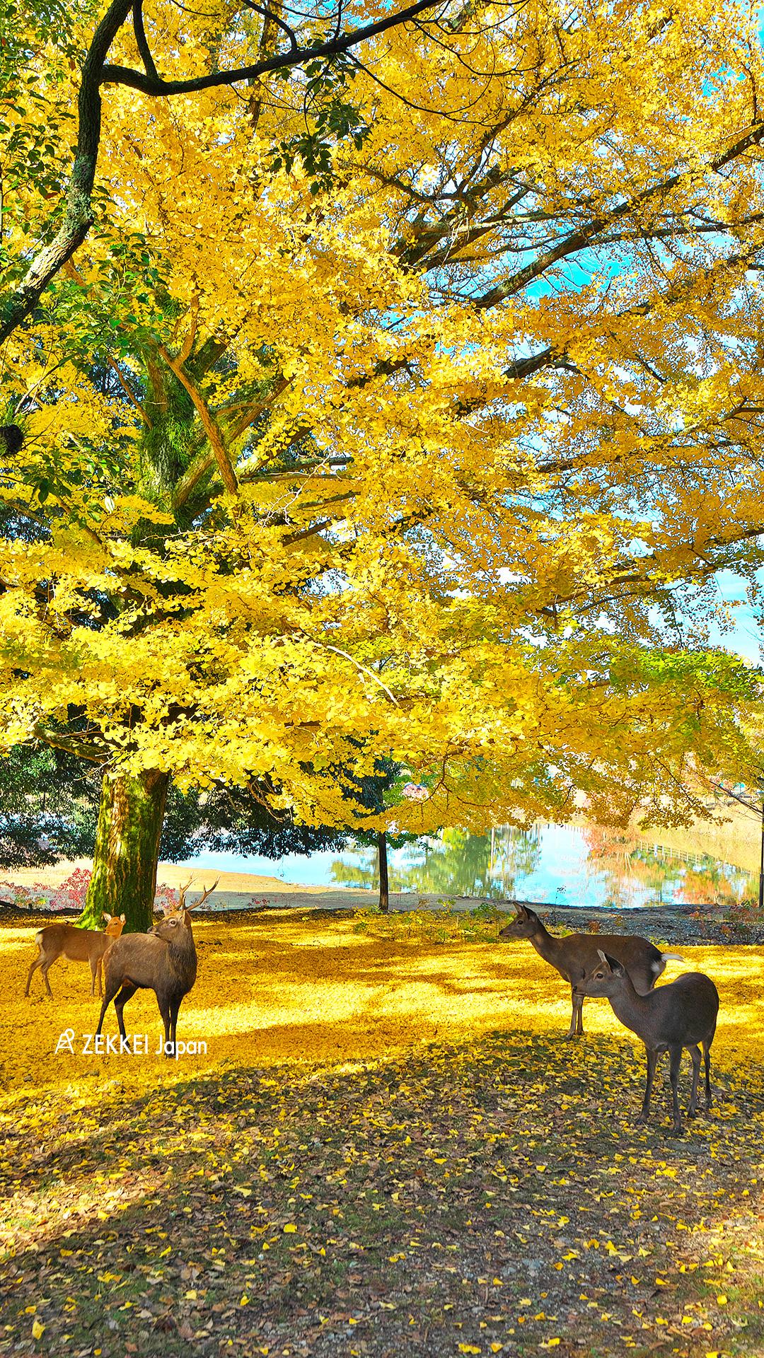 絶景壁紙 黄金に染まるいちょう並木の散歩道を あなたのパソコンや