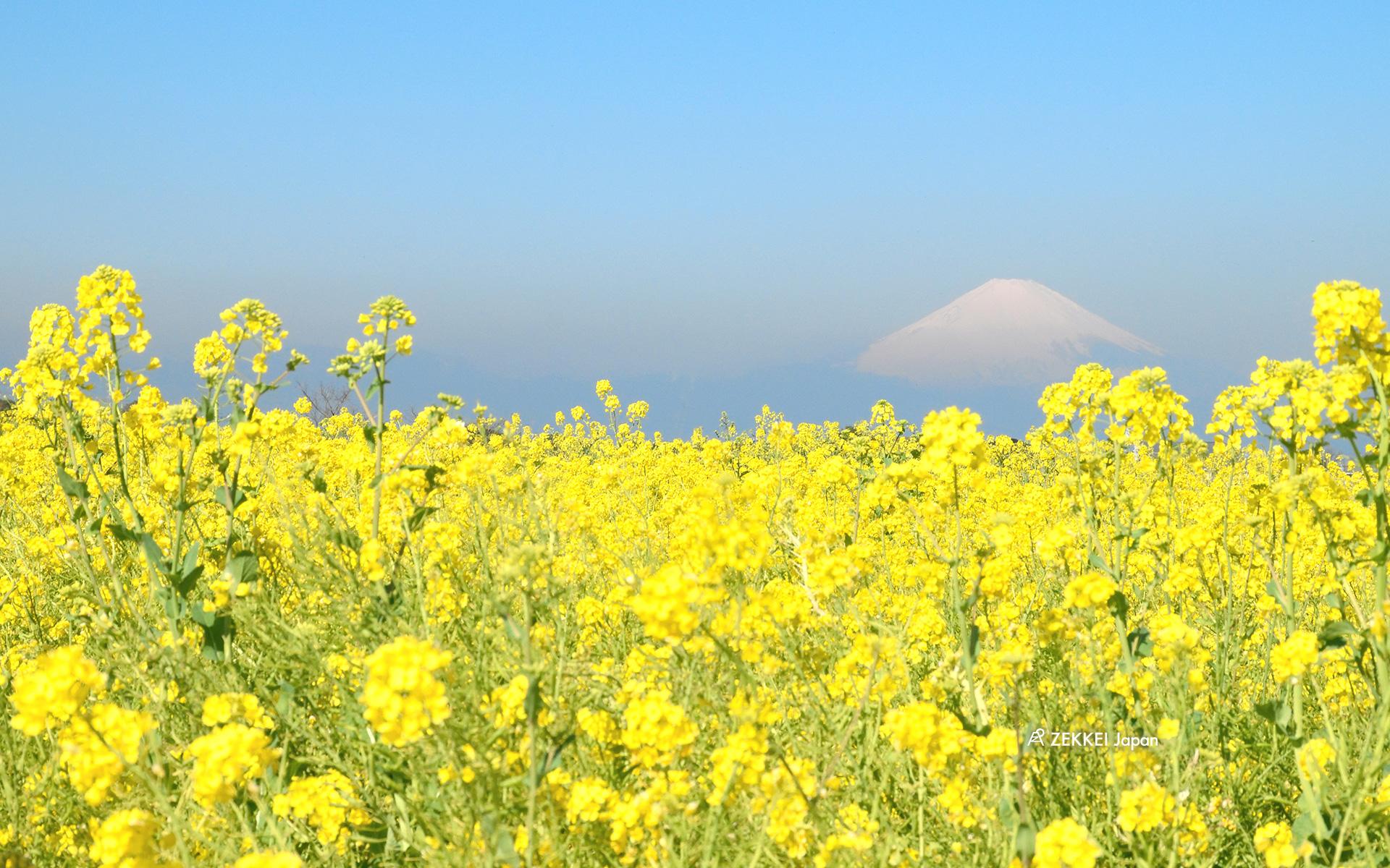 春の絶景壁紙 のどかな菜の花の絶景をあなたの待ち受けに Zekkei Japan