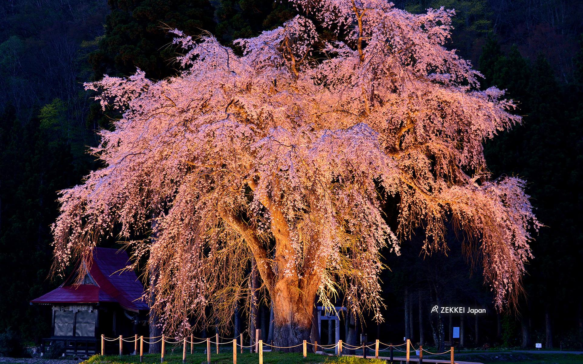 絶景壁紙 凛と咲く一本桜の絶景をあなたの待ち受けに Zekkei Japan