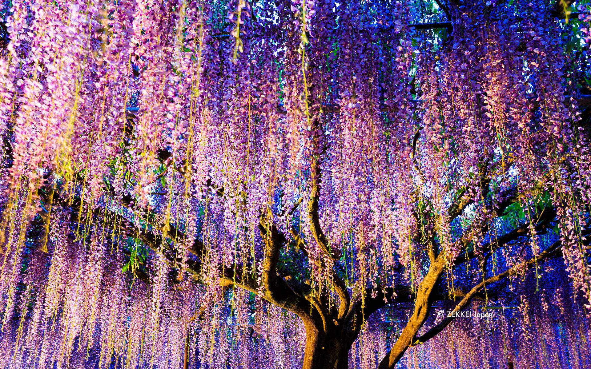 絶景壁紙 幻想的な藤の壁紙をあなたの待ち受けに Zekkei Japan