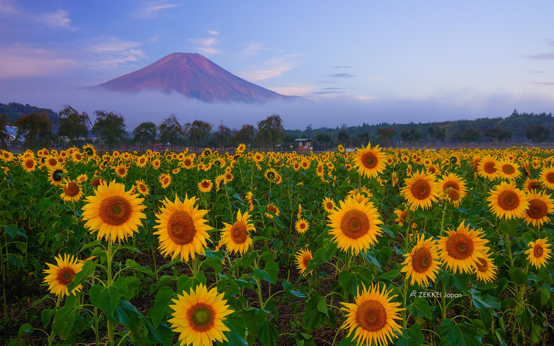 絶景壁紙 ビタミンカラーが元気をくれる ひまわり を待ち受けに Zekkei Japan