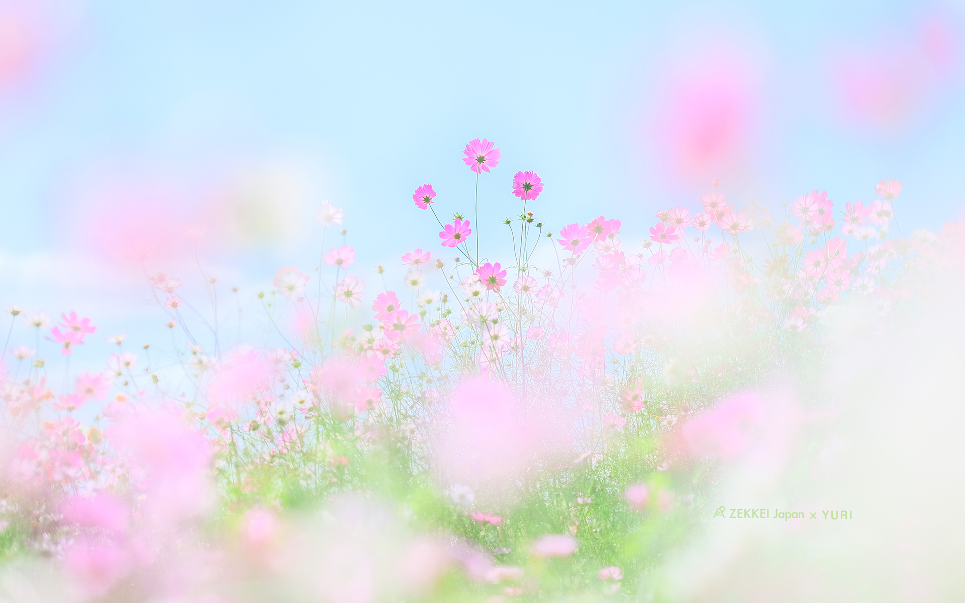Wallpapers Wallpapers Of Fluffy Pastel Colored Flowers Zekkei Japan