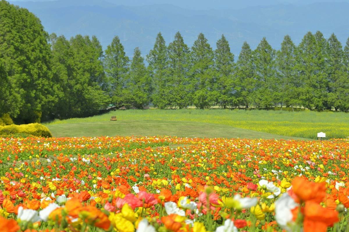 生駒高原 コスモス 旅行