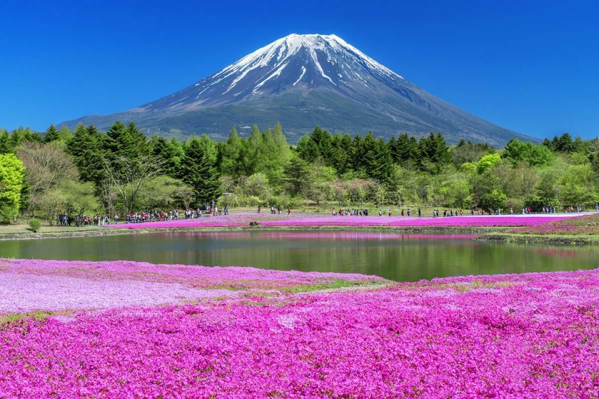 芝樱 富士山 旅游