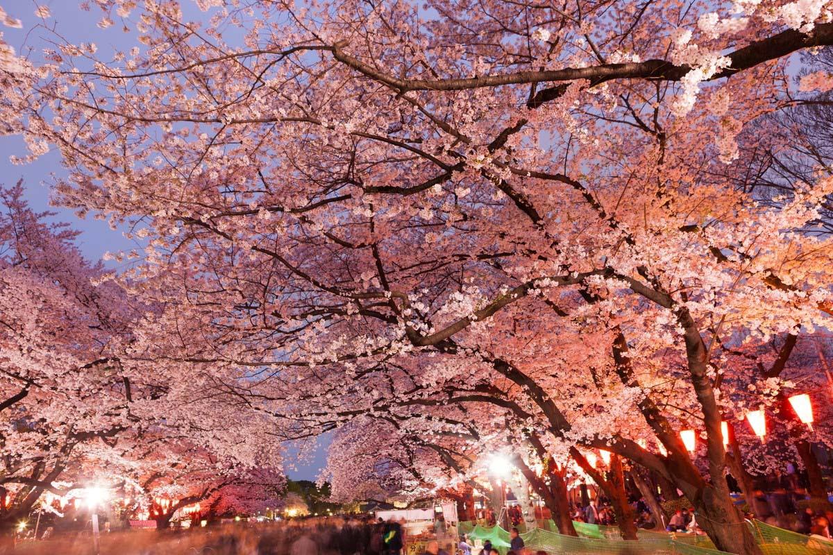 日本 旅游 樱