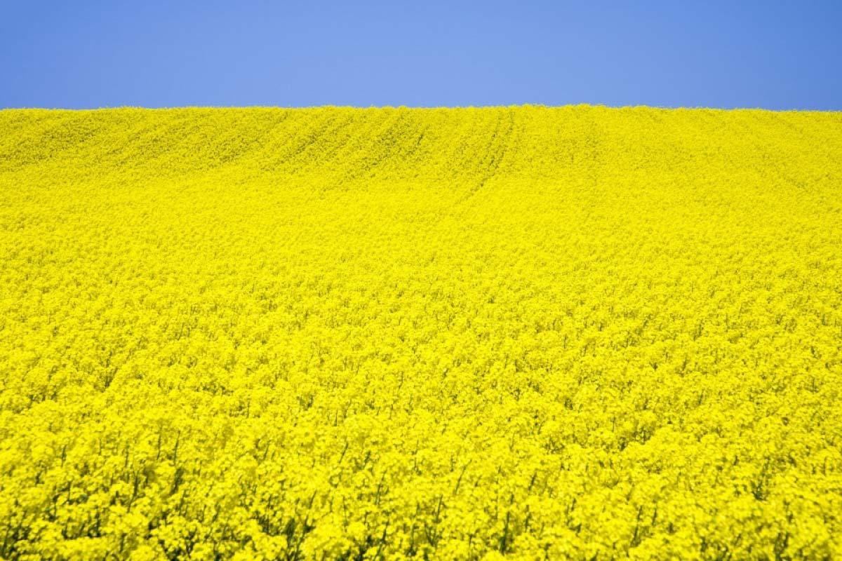 Field mustard fields