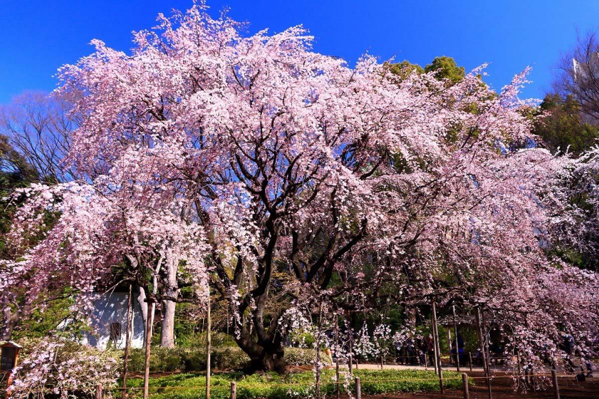 桜 六義園 東京