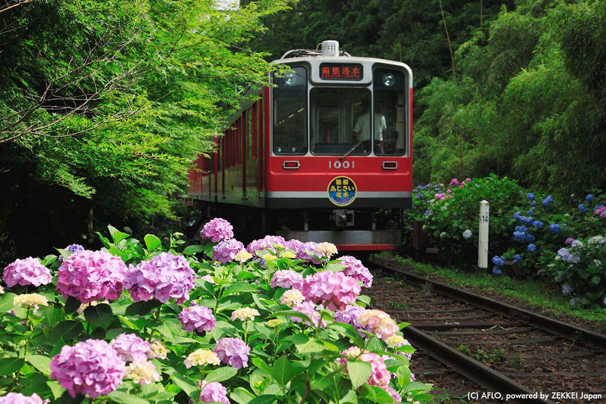 箱根 紫陽花 紅葉
