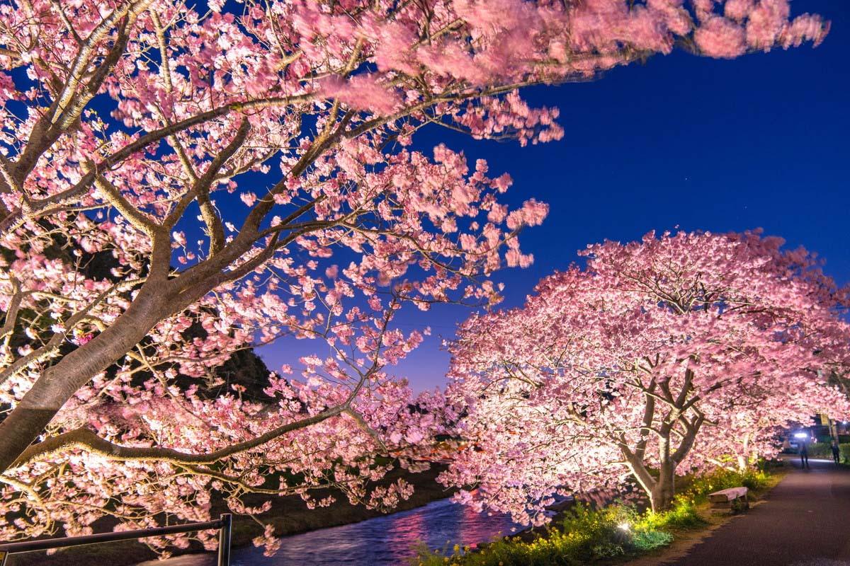 樱 日本 旅游