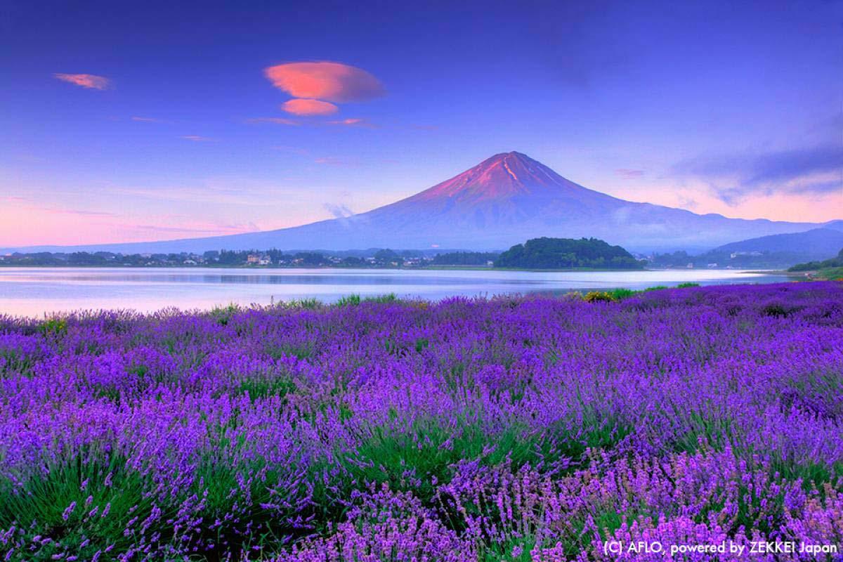 lavender Mt Fuji Japan