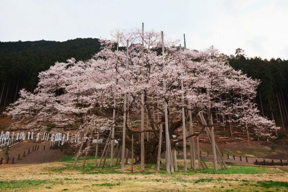 桜 開花予想 花見