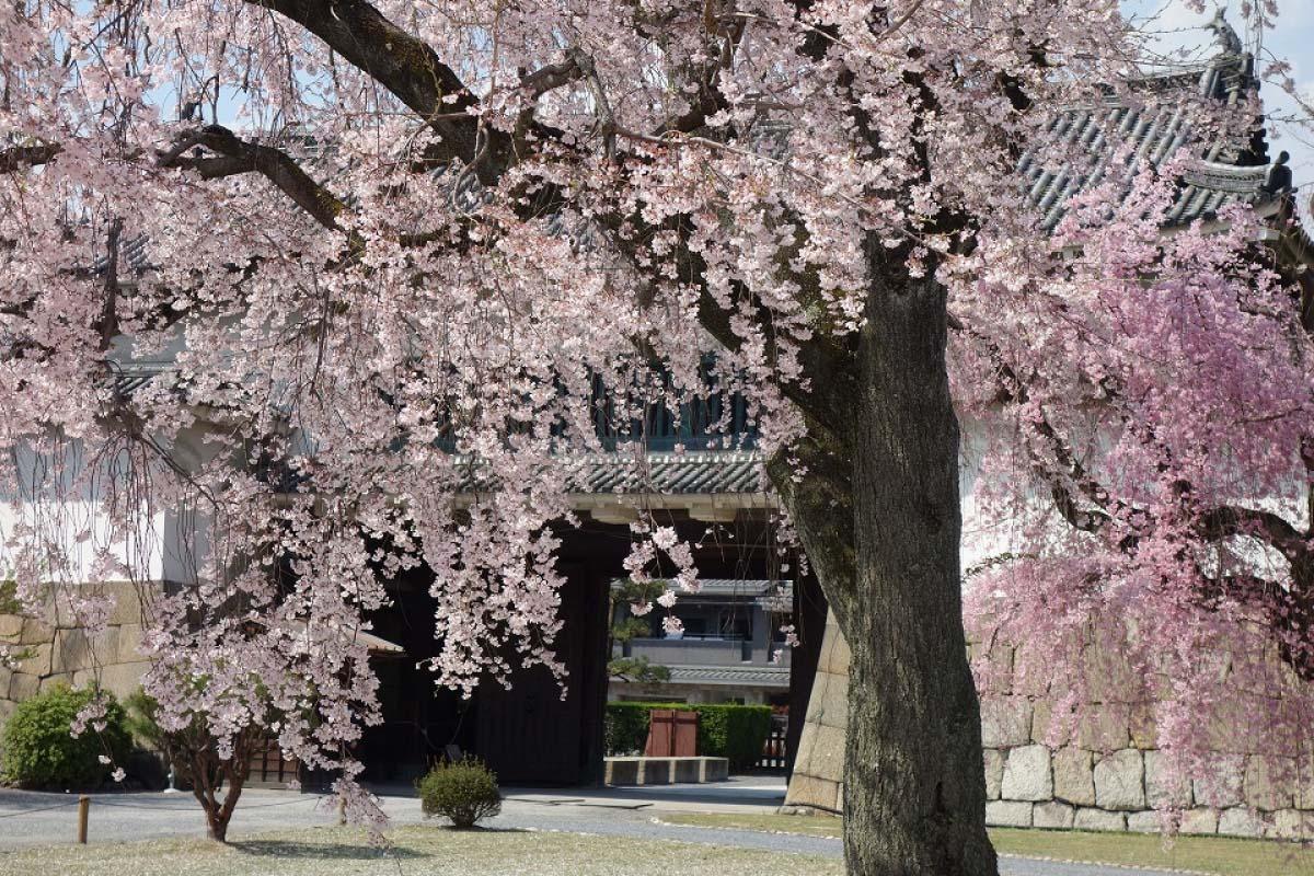 桜 京都 二条城