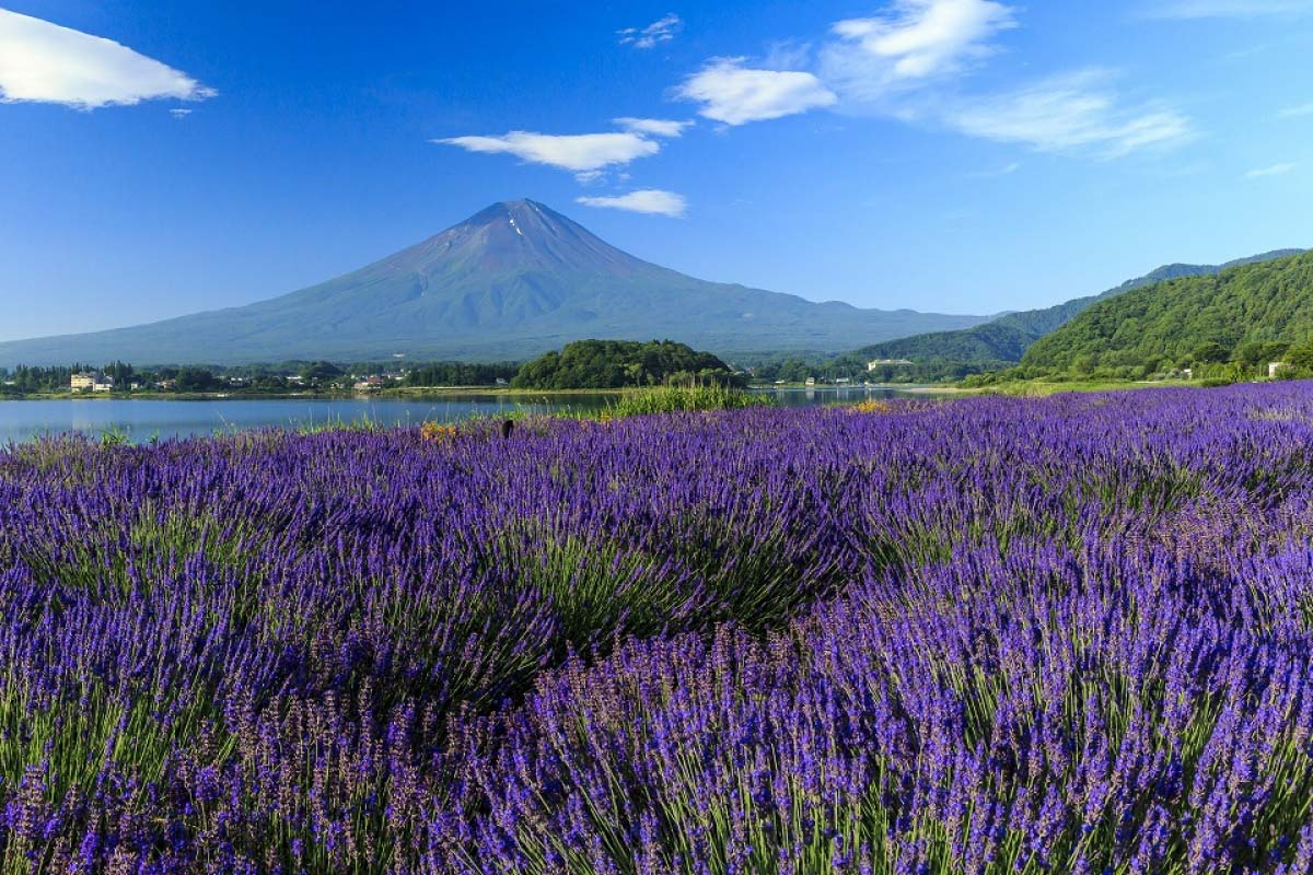 lavender Mt Fuji Japan