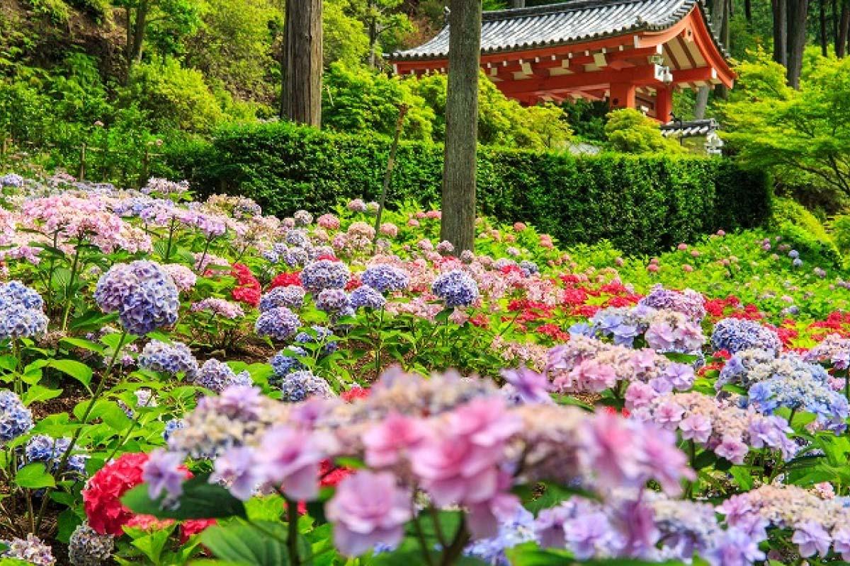 Mimurotoji Temple Kyoto hydrangeas