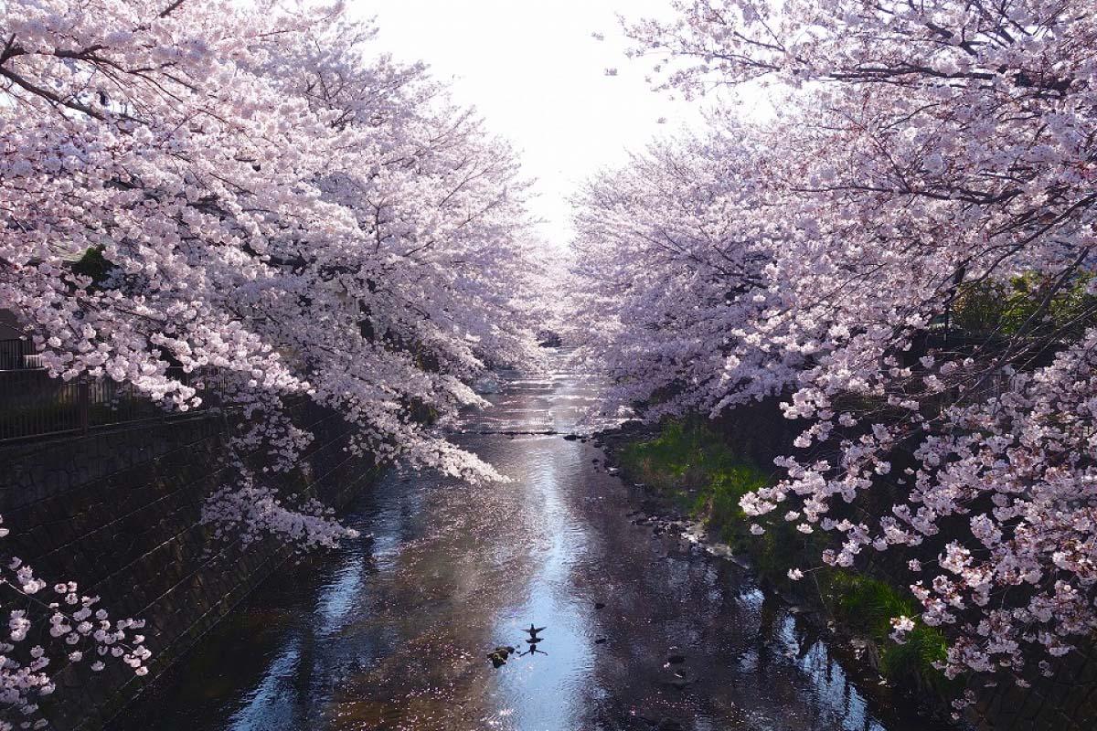 桜 東京 恩田川