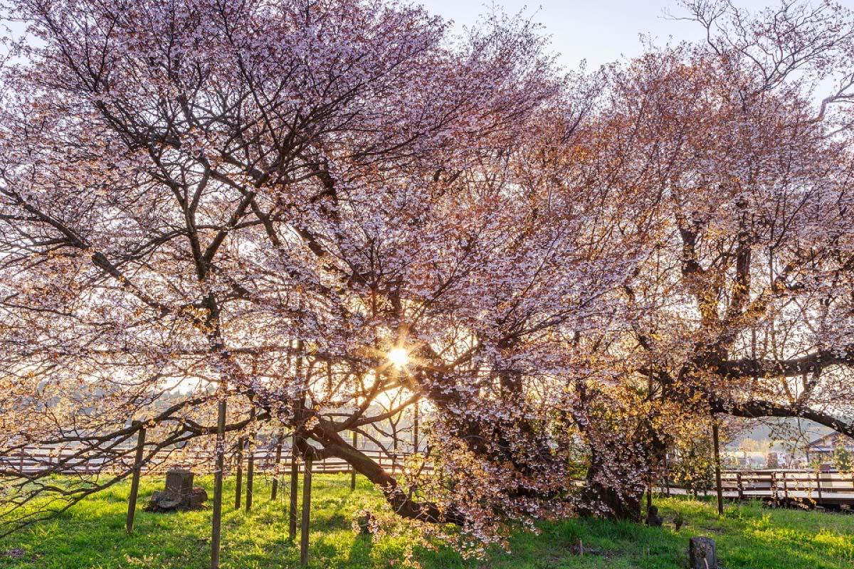 桜 熊本 旅行