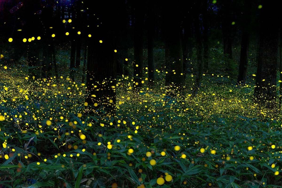 Okayama Shrine fireflies