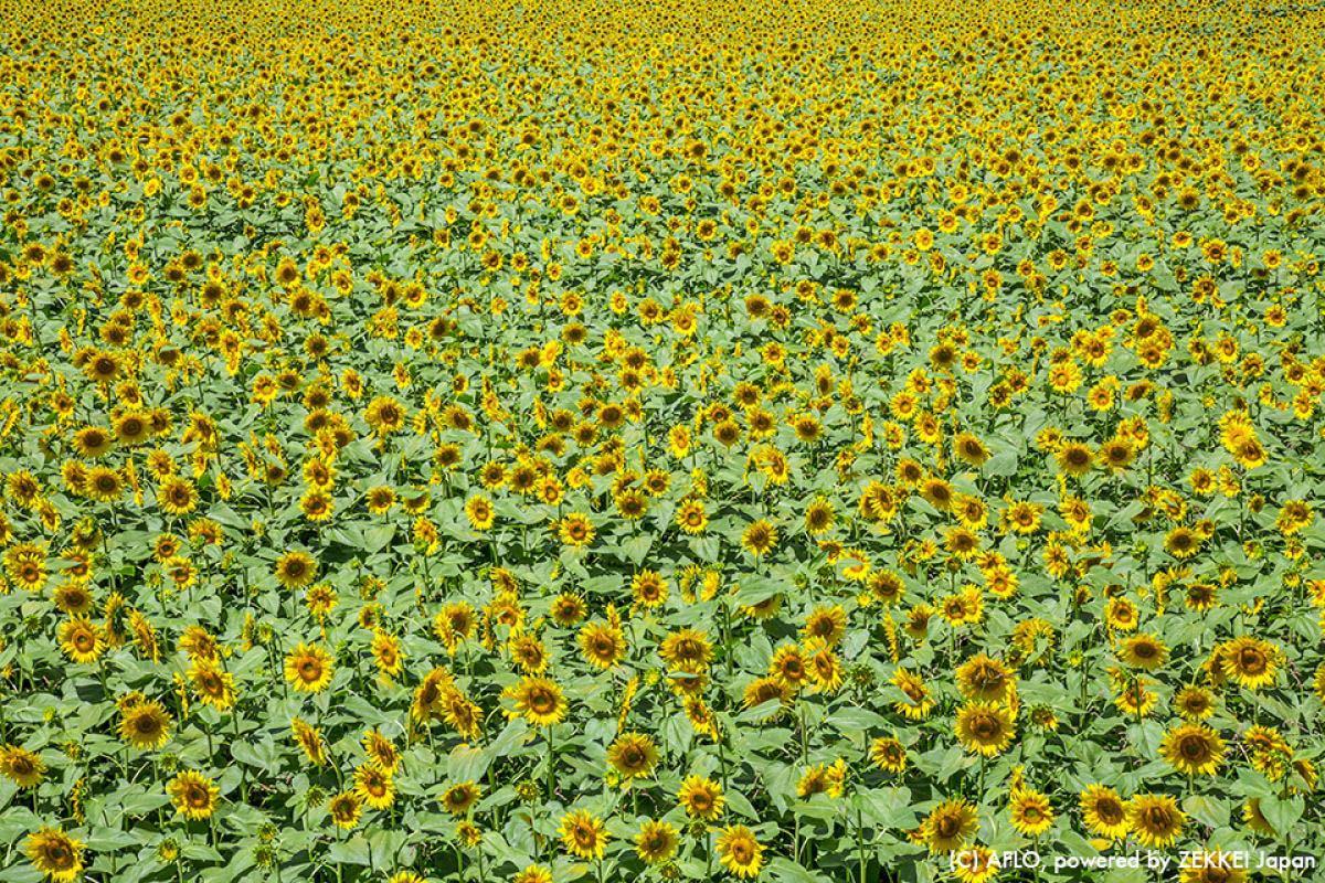 Sunflower Fields Akeno Yamanashi