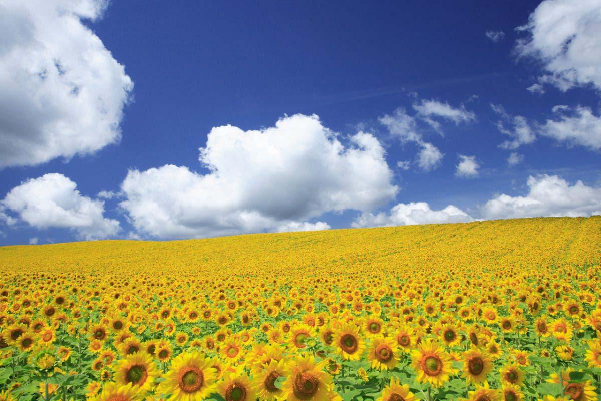 富良野 北海道 向日葵