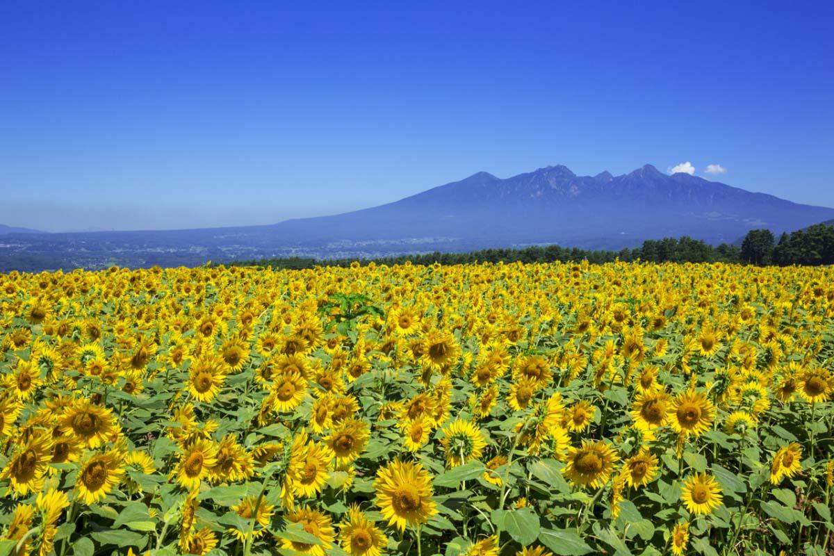 明野的向日葵畑 山梨 向日葵