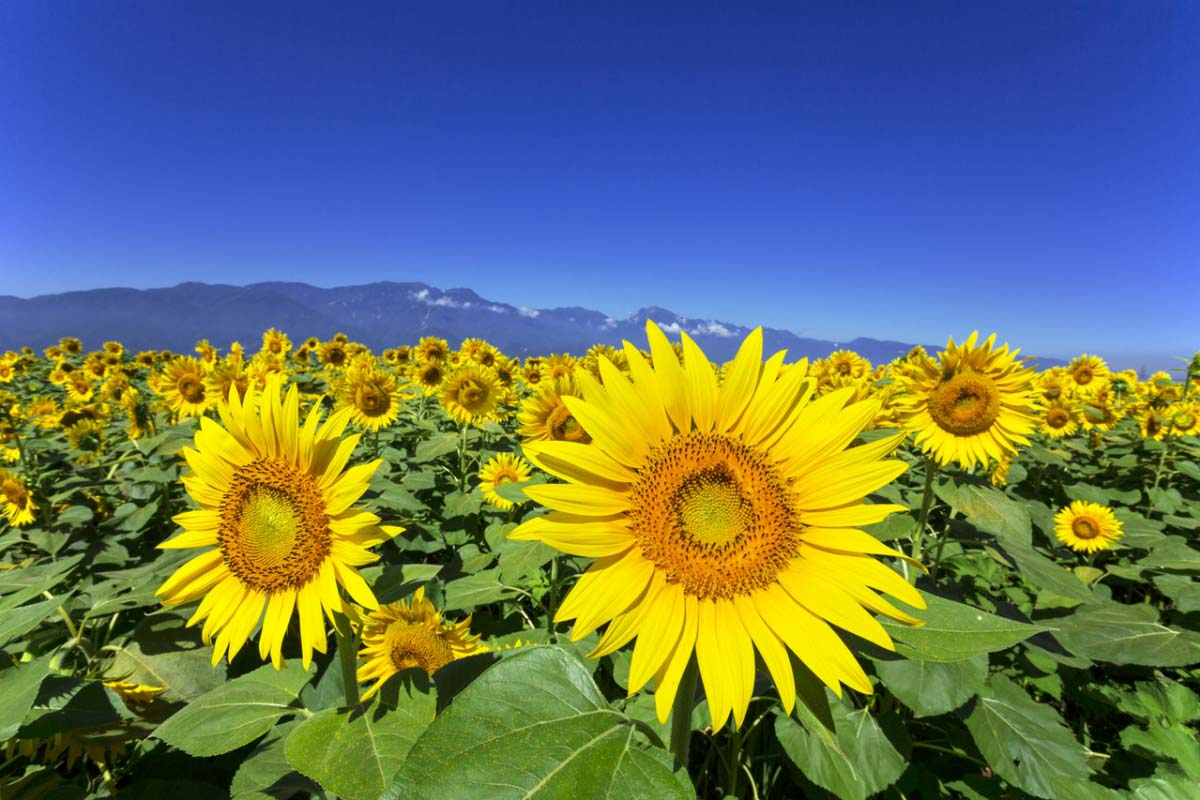 Sunflower Fields in Akeno Yamanashi Summer